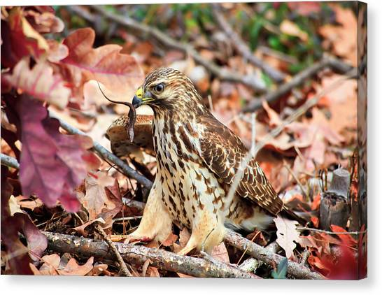 Hawk Catches Prey Canvas Print