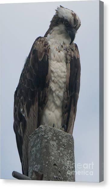 Hawk Facing Down Canvas Print