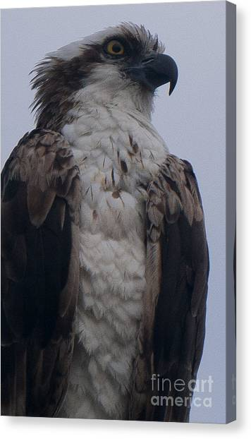 Hawk Looking Into The Distance Canvas Print