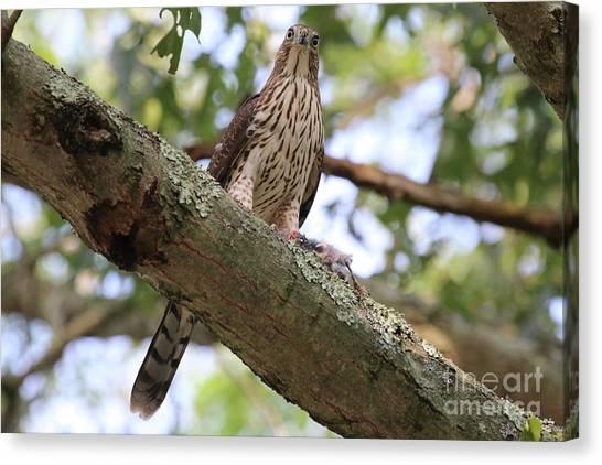Hawk On A Branch Canvas Print