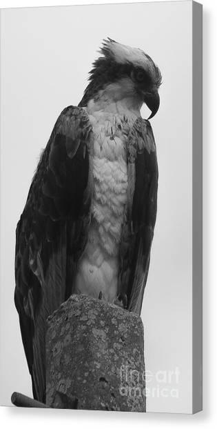 Hawk Perched Canvas Print