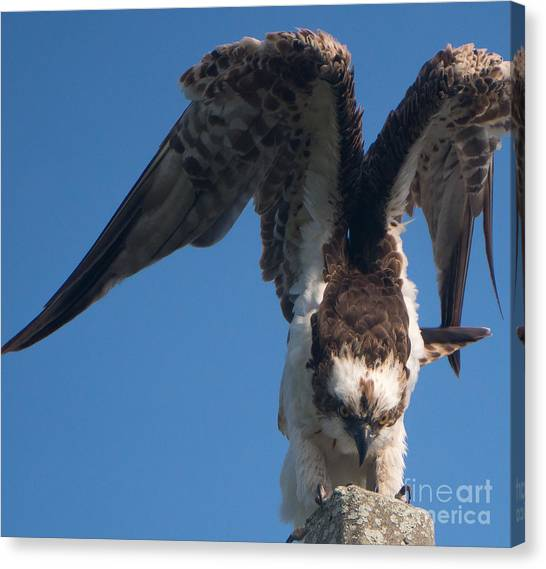 Hawk Prepares For Flight Canvas Print