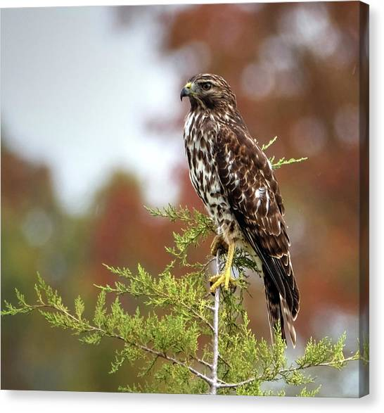 Red Shoulder Hawk Profile Canvas Print