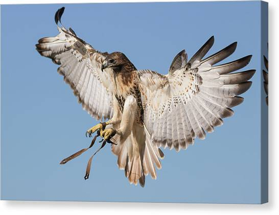 Hawk Showing Off Canvas Print