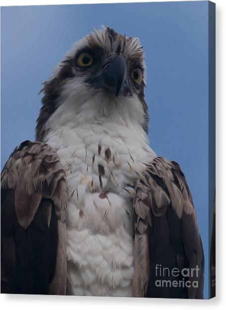 Hawk Stare Canvas Print
