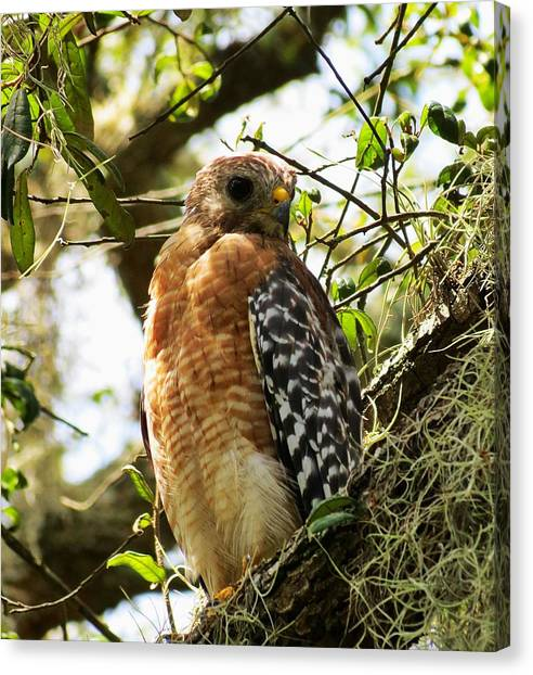 Hawk Taking A Rest On A Tree In Lakeland Florida Canvas Print