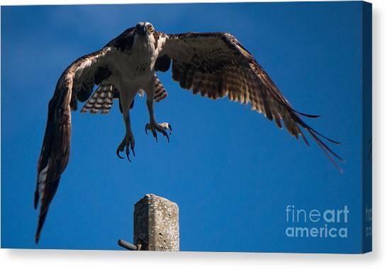 Hawk Taking Off Canvas Print