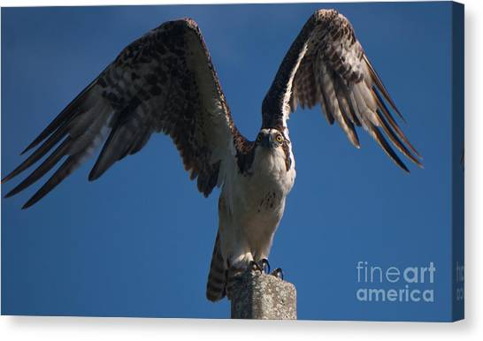 Hawk Wings Canvas Print