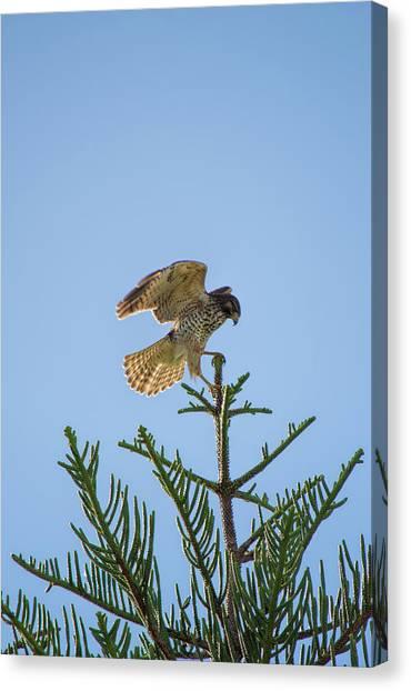 Hawk With Regal Landing Canvas Print