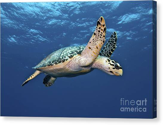 Turtles Canvas Print - Hawksbill Sea Turtle In Mid-water by Karen Doody
