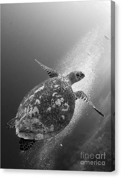 Kimbe Bay Canvas Print - Hawksbill Turtle Ascending by Steve Jones