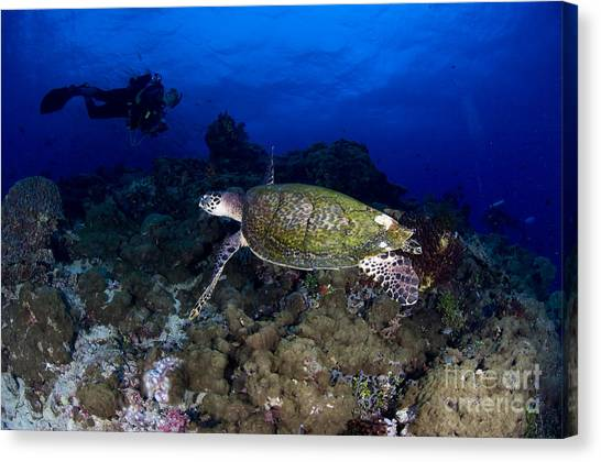 Kimbe Bay Canvas Print - Hawksbill Turtle Swimming With Diver by Steve Jones