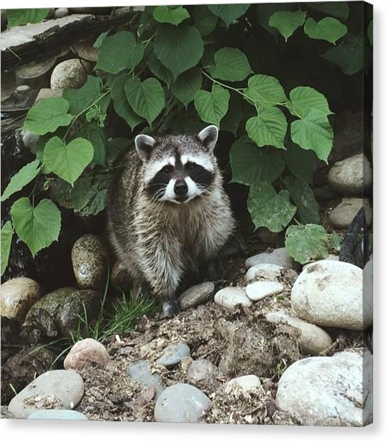 Raccoons Canvas Print - He Is So Adorable ❤️ by Anastasiya Zhilyakova
