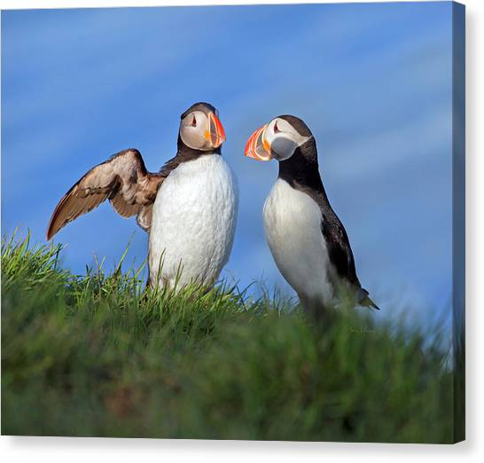 Puffins Canvas Print - He Went That Way by Betsy Knapp