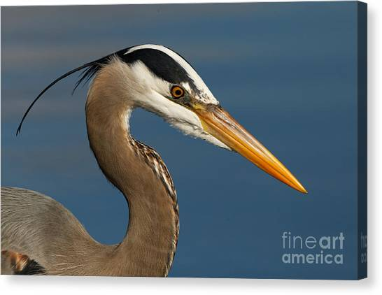 Head Of A Great Blue Heron Canvas Print