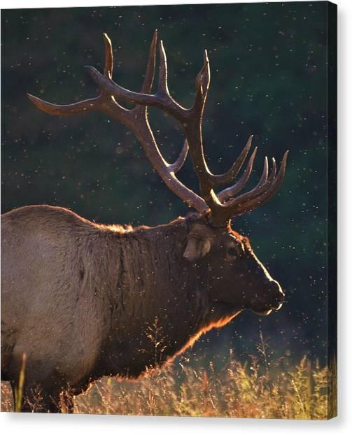 Head Of The Herd Canvas Print