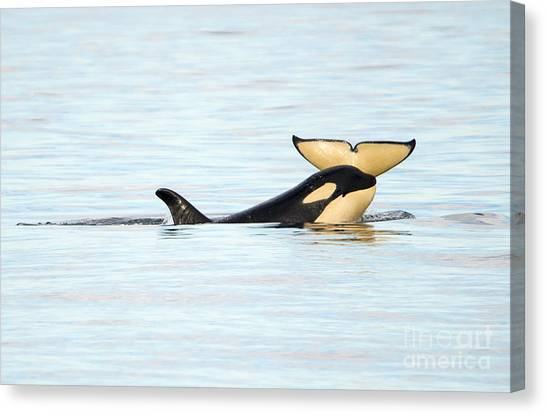 Orcas Canvas Print - Heads Or Tails by Mike Dawson