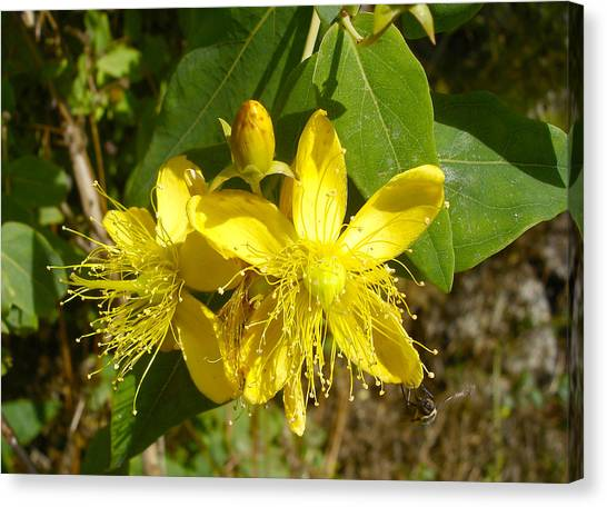 Healthy Beauty - St John's Wort In Blossom Canvas Print