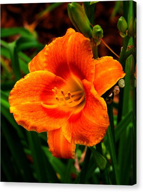 Heart Lily Canvas Print by Paul Anderson