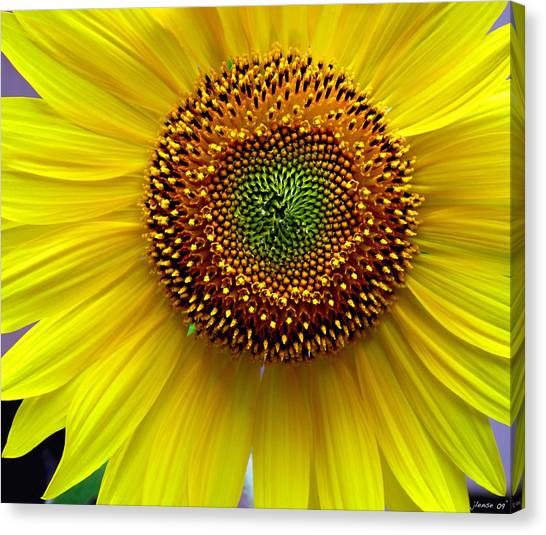 Heart Of A Sunflower Canvas Print