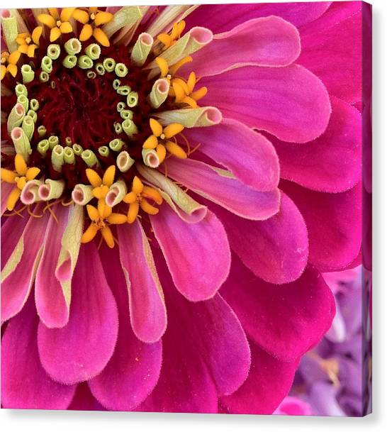 Heart Of The Zinnia Canvas Print by Deborah Bifulco
