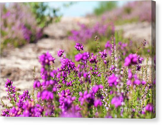 Heather - Calluna Vulgaris - In Flower In Summer Canvas Print