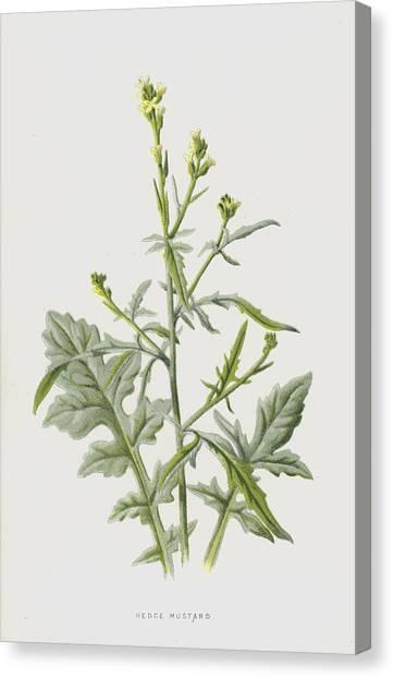 Mustard Canvas Print - Hedge Mustard by Frederick Edward Hulme