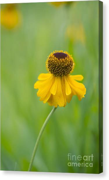 Bishops Canvas Print - Helenium The Bishop by Tim Gainey