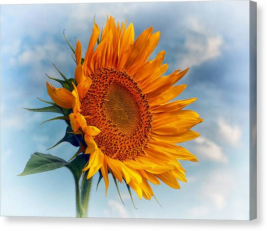 Helianthus Annuus Greeting The Sun Canvas Print