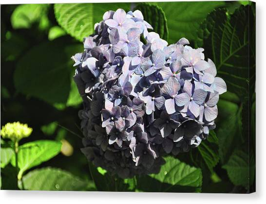 Heliotrope Canvas Print by JAMART Photography