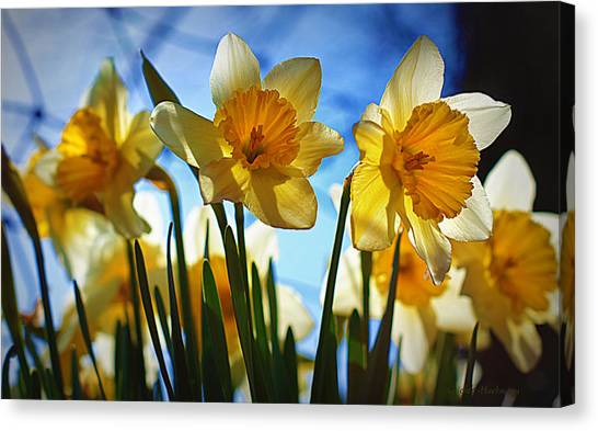 Daffodils Canvas Print - Hello Spring by Cricket Hackmann