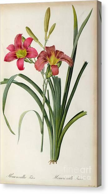 Botanical Gardens Canvas Print - Hemerocallis Fulva by Pierre Joseph Redoute