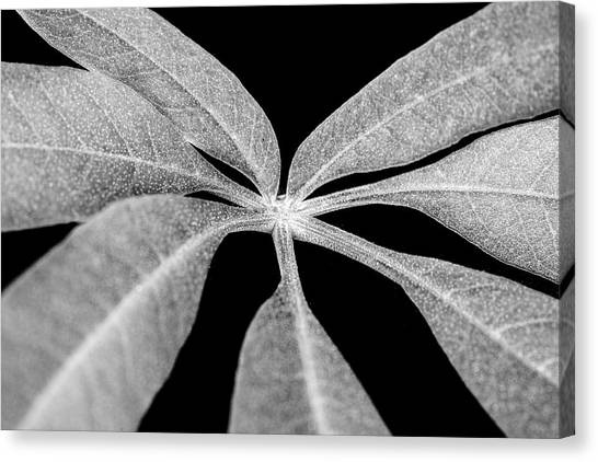 Hemp Tree Leaf Canvas Print