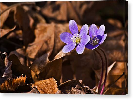 Hepatica Flower Canvas Print by Michael Whitaker