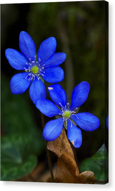 Hepatica Nobilis Canvas Print