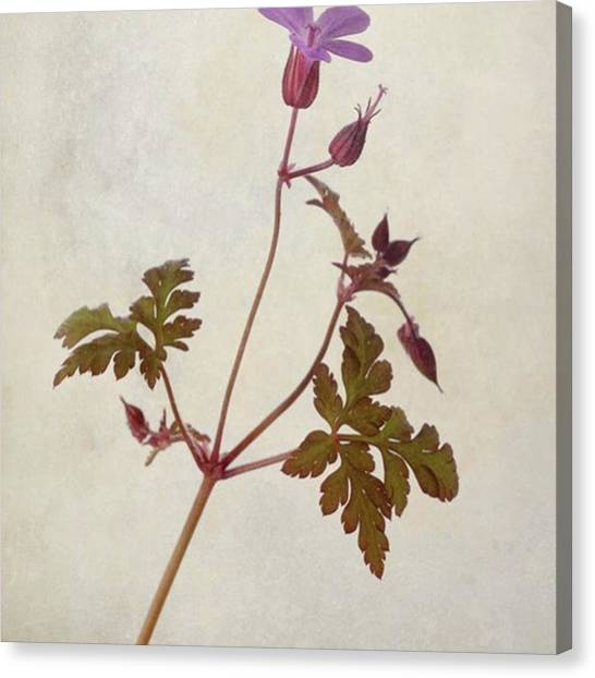 Green Canvas Print - Herb Robert - Wild Geranium  #flower by John Edwards