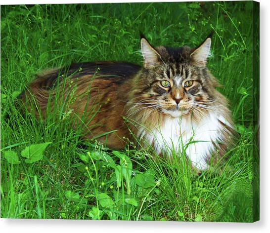 Canvas Print featuring the photograph Hercules Maine Coon Elegance by Roger Bester