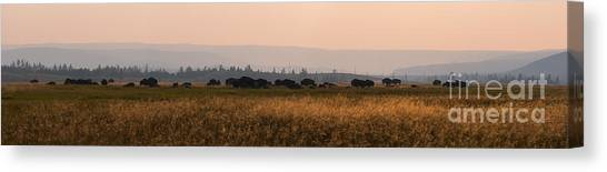 Herd Of Bison Grazing Panorama Canvas Print