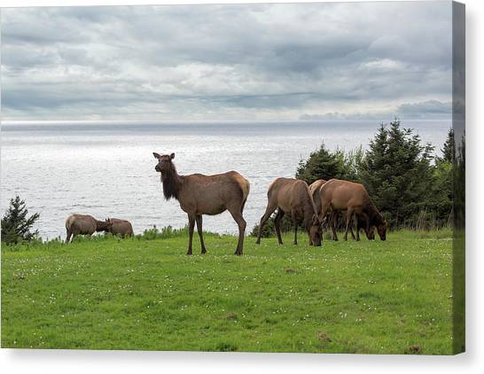 Canvas Print - Herd Of Elk At Ecola State Park by David Gn