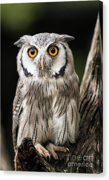 Southern Africa Canvas Print - Scops Owl by DiFigiano Photography