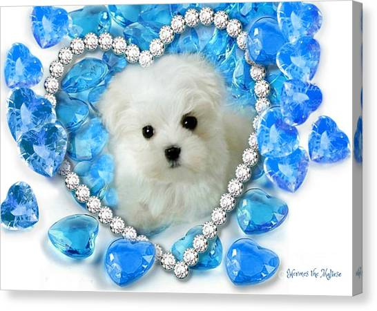 Hermes The Maltese And Blue Hearts Canvas Print
