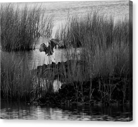 Heron And Grass In B/w Canvas Print