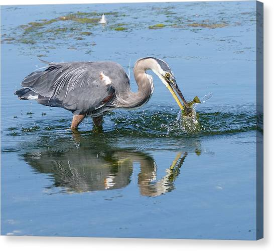 Great Blue Heron Catches A Fish Canvas Print