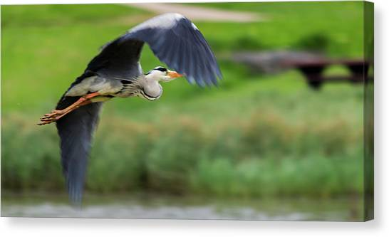 Canvas Print featuring the photograph Heron Flying Turning In Flight by Scott Lyons