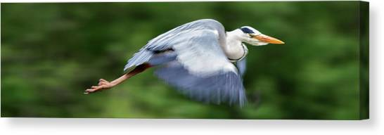 Canvas Print featuring the photograph Heron Flying Wings Down by Scott Lyons