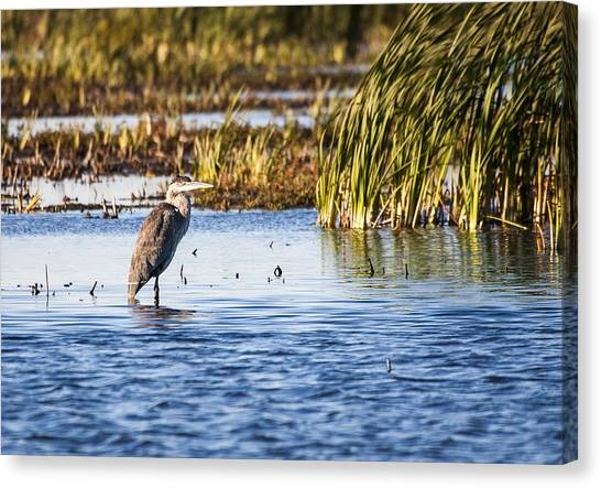 Heron - Horicon Marsh - Wisconsin Canvas Print