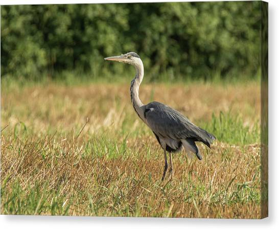 Heron In The Field Canvas Print