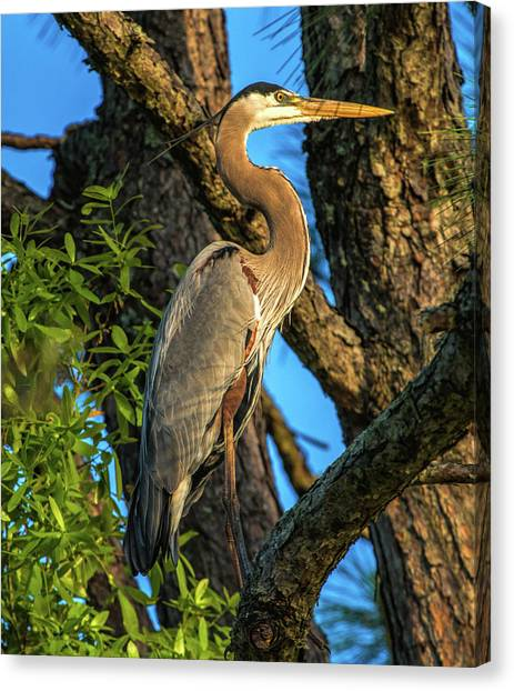 Heron In The Pine Tree Canvas Print