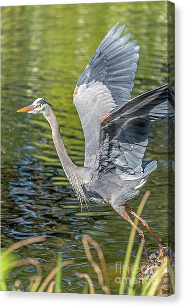 Canvas Print featuring the photograph Heron Liftoff by Kate Brown
