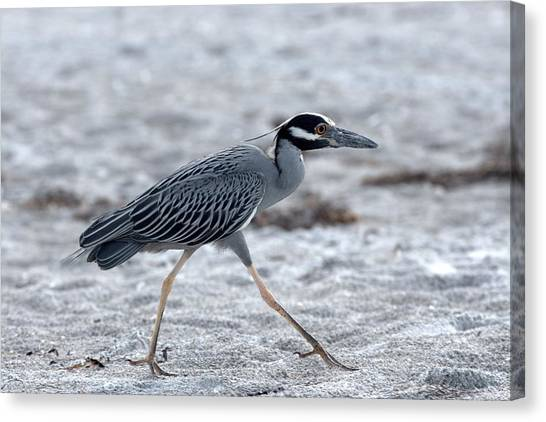 Yellow-crowned Night Heron On A Mission Canvas Print